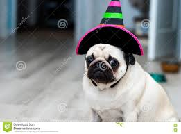 Ghost Dog Halloween Costumes by Tired Pug In Halloween Costume Stock Image Image 6316931 Costume
