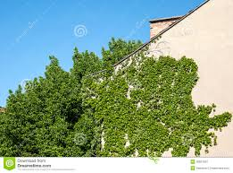 house wall with climbing plants stock images image 30927834