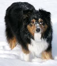 triple r australian shepherds sydney the pac therapy dog at ucla health system sydney is a