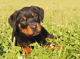 belgian shepherd x rottweiler german shepherd and rottweiler together dog and cat