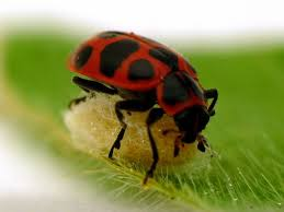 gruesome tale why wasps live inside zombie ladybugs