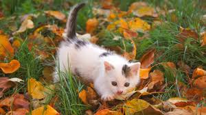 cute fall background wallpaper cats grass leaves kitten cuddly cute autumn desktop wallpaper hd