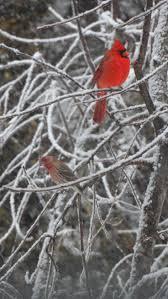 11 best north carolina backyard birds images on pinterest