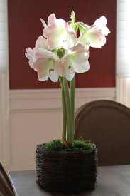 amaryllis bulb kits gifts amaryllis flower care how to care for