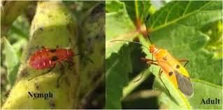Okra Plant Diseases - integrated pest management of 12 important pests of okra krishisewa