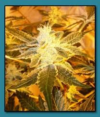 wedding cake genetics seed genetics