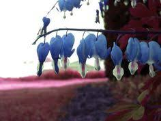 blue heron u0027 stands out from the other blue blue bleeding hearts by