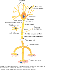 chapter 7 nervous system disorders pathophysiology of disease