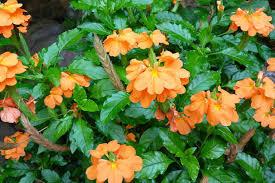 Indoor Fragrant Plants - jasmine growing jasmine indoors