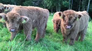 scottish highland cattle in finland fluffy calves everywhere