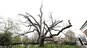 White Oak Tree Bernards New Jersey Reluctantly Bidding Farewell To 600 Year Old