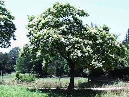 albero giardino alberi da giardino a crescita rapida alberi