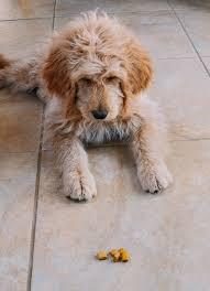 goldendoodle puppy treats 1988 best pupy treats images on