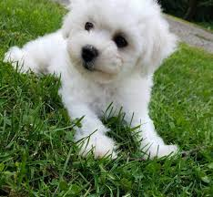 1 week old bichon frise bichon frise and teddy bear puppies home facebook