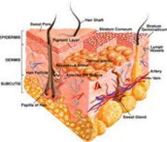 Human Anatomy Integumentary System The Integumentary System By Ms Dickie