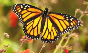 monarch butterfly danaus plexippus linnaeus