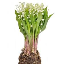Lily Of The Valley Flower Lily Of The Valley Wholesale Flowers Uk Wedding Flowers