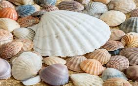 Where To Buy Seashells Sea Shells Free Pictures On Pixabay