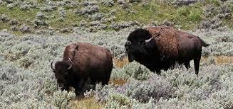 yellowstone bison yellowstone national park u s national park