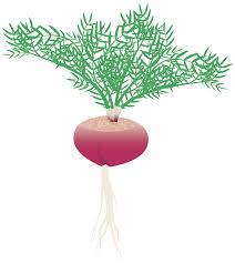 Vegetative Propagation By Roots - maca lepidium meyenii andean vegetable root and leaf