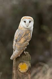 Scientific Name Of Barn Owl Photographs Of Barn Owls