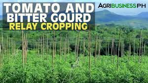 vegetable farming tomato and bitter gourd relay cropping