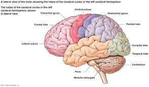 Human Brain Mapping Lateral View Of The Brain Diagram Schematics Wiring Diagram