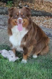 australian shepherd k lake front acres our mini aussie familythese dogs are my