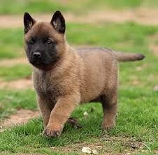 belgian shepherd or malinois belgian malinois puppies for sale