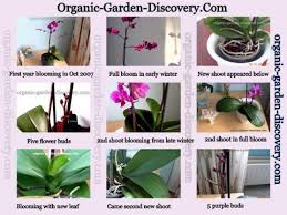 growing orchids indoors gardening advice intended for orchid care