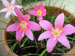 Rain Lily Growing Flowering Bulbs In Warm Climates Rain Lily Zephyranthes