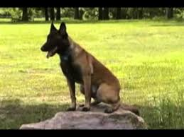 belgian shepherd dog for sale trained belgian malinois for sale youtube