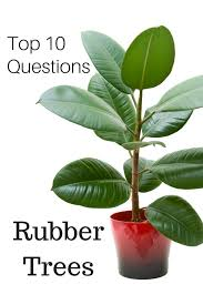 top 10 questions about rubber tree plants gardening how s