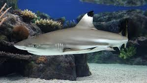 blacktip reef shark coral reefs fishes carcharhinus