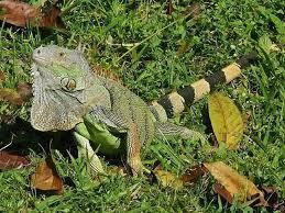 imágenes de iguanas verdes rico tiene más iguanas verdes que seres humanos