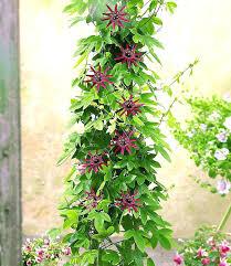 kletterpflanzen fã r balkon die schonsten kletterpflanzen passionsblume ladybirds