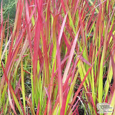 buy imperata cylindrica baron blood grass in the uk