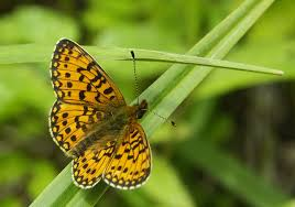 butterflies across europe face crisis as climate change looms