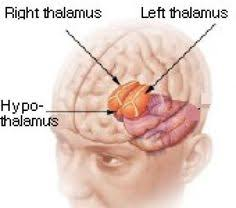 Thalamus Part Of The Brain 6 Major Parts Of The Brain And How They Work Brain Triune Brain