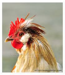 rooster photography radiant roosters u0026 happy hens pinterest