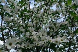 white tree flowers trees free nature pictures by forestwander