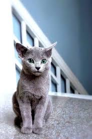 halloween background cat eyes 600x 600 best 20 blue cats ideas on pinterest chartreux russian blue