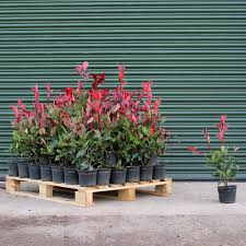 native hedging plants uk root ball photinia red robin hedge plant pallet deals impact plants