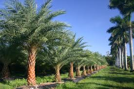 sylvester date palm tree 4 justin farms species