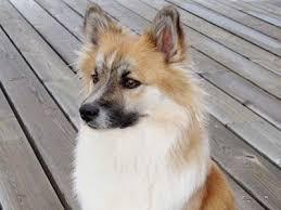 belgian shepherd hypoallergenic herding dog breeds herding dog list