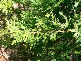 sacred tree profile eastern white cedar thuja occidentalis