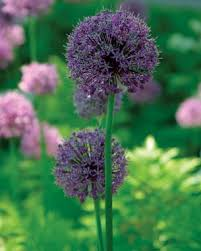 allium flowers alliums all season finegardening