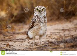 desert owl coloring page burrowing owl coloring pages animal smurfs books coloring pages