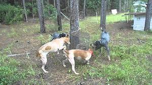 bluetick coonhound treeing redticks u0026 blueticks on a coon youtube