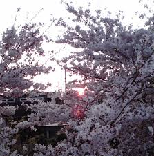Cherry Blossom Tree Facts by South Korean Media Wants The World To Know That U201ccherry Blossoms